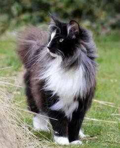 Norwegian Forest Cat (2)
